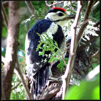 06/2016 - Buntspecht - great spotted woodpecker