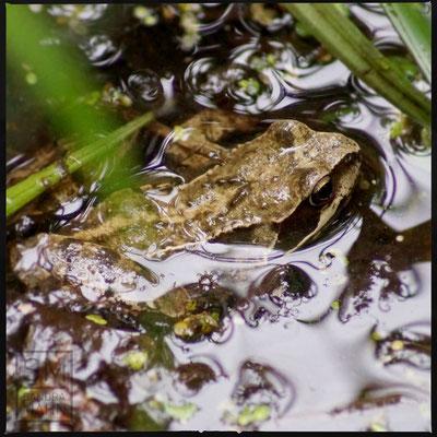 05/2015 - Frosch im Teich - frog in pond