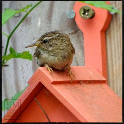 08/2016 - Weibchen auf dem Nistkasten - female on nesting box