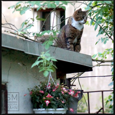 05/2016 - Katze auf dem Laubendach - cat on the roof of the arbor