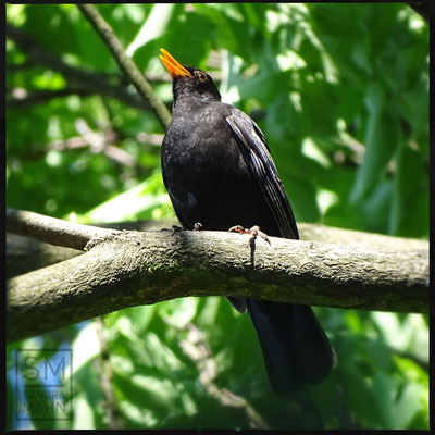 06/2016 - Amsel - blackbird
