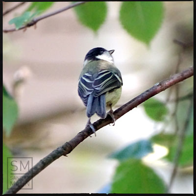 06/2016 - Kohlmeise - great tit