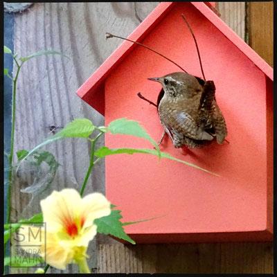 07/2016 - Männchen lockt Weibchen an - male attracting females