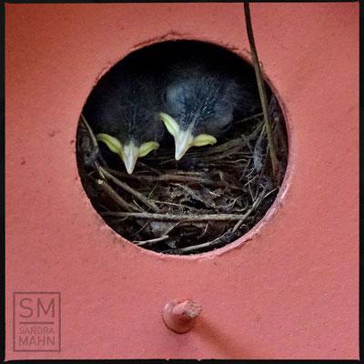 08/2016 - 1. August: die Jungen haben bereits Federn und öffnen die Augen - August 1st: chicks have feathers and open the eyes