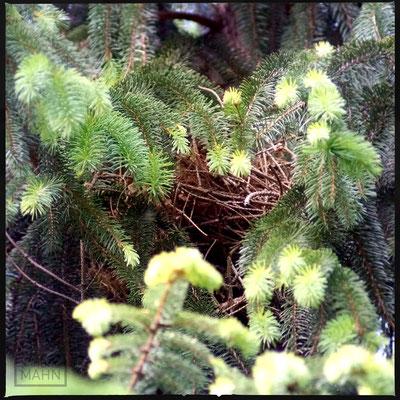 05/2016 - Eichhörnchen Kobel - squirrel drey