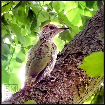 07/2016 - junger Grünspecht - young european green woodpecker