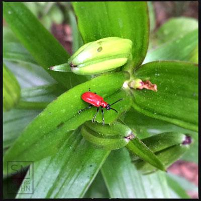 05/2016 - Lilienhähnchen - scarlet lily beetle