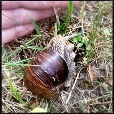 05/2016 - Weinbergschnecke - grapevine snail
