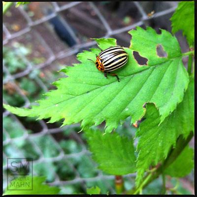 07/2015 - Kartoffelkäfer - potato beetle