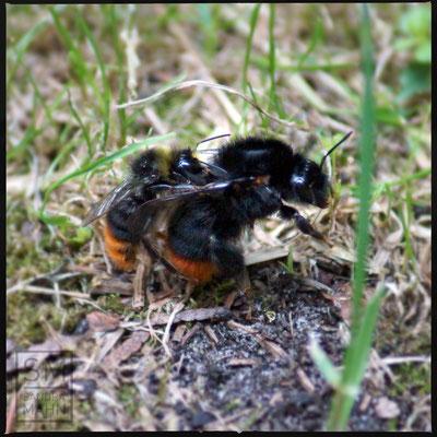 07/2016 - Hummel Paarung - bumblebee pairing