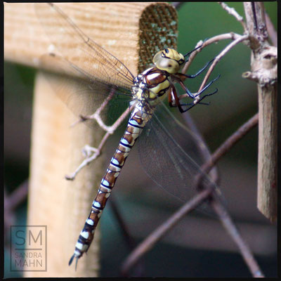 08/2015 - Libelle - dragonfly