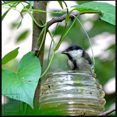 07/2016 - Wasser trinkende Kohlmeise - water drinking great tit