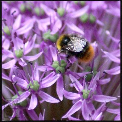 05/2016 - Hummel - bumblebee