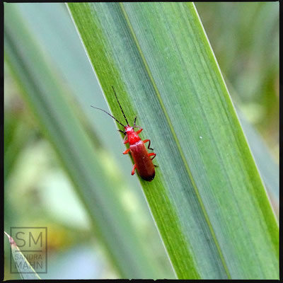 07/2016 - Roter Weichkäfer - common red soldier beetle