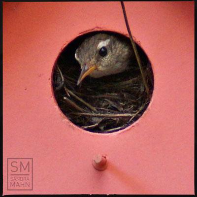 07/2016 - ein Weibchen ist eingezogen - a female has moved in