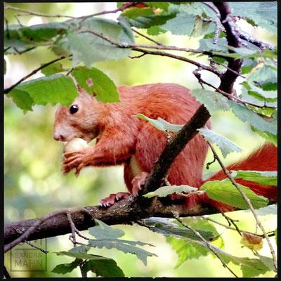 07/2016  - Im Haselnussbaum - in hazelnut tree