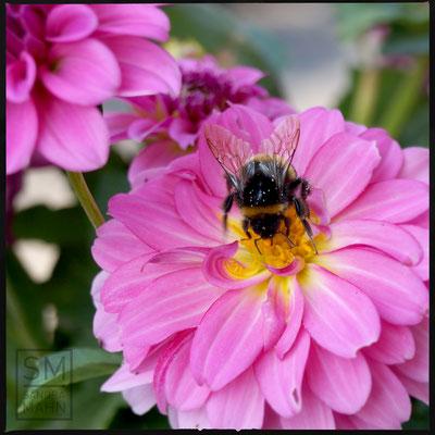 08/2015 - Hummel - bumblebee