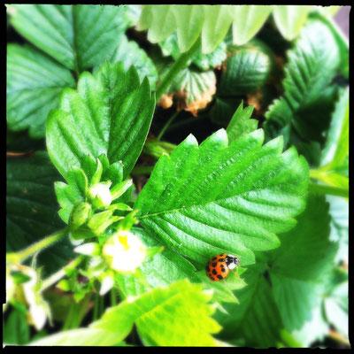 05/2015 - Asiatischer Marienkäfer - asian ladybug