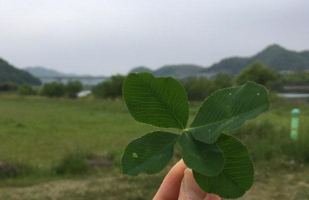 五つ葉は少し珍しい。7つ葉も見つけたことがあります。