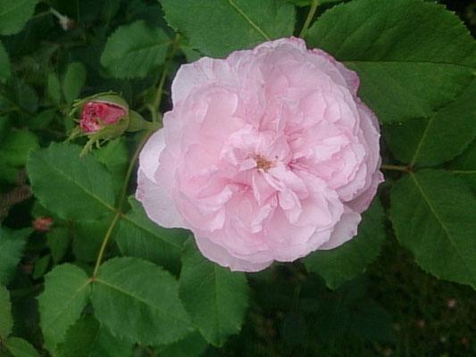 これは小さなバラ