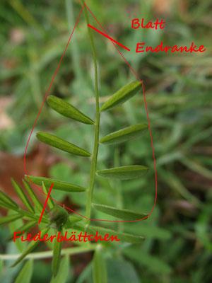 Die Aufteilung eines Blattes der Wicke (Vicia spp.)