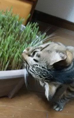 猫草食べてます