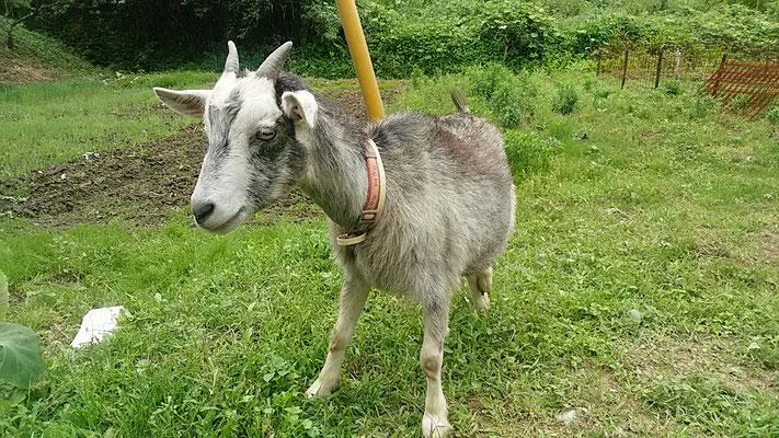 トカラヤギのメイちゃんの写真