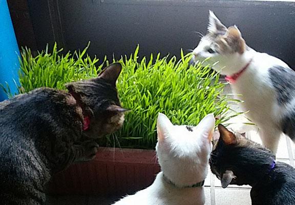 猫草に大集合!