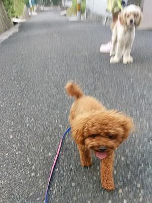 プーちゃん到着後すぐの散歩