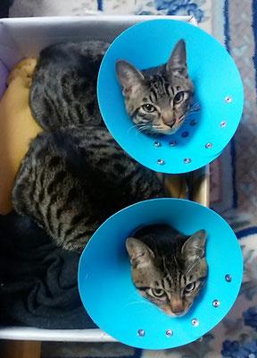 猫の去勢手術ララ.にゃん