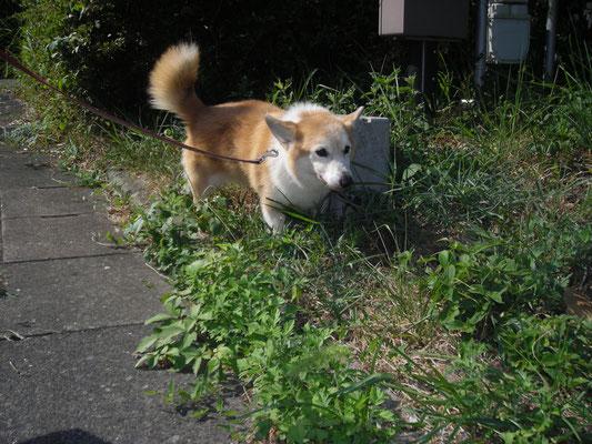 散歩中のレモンちゃんの写真