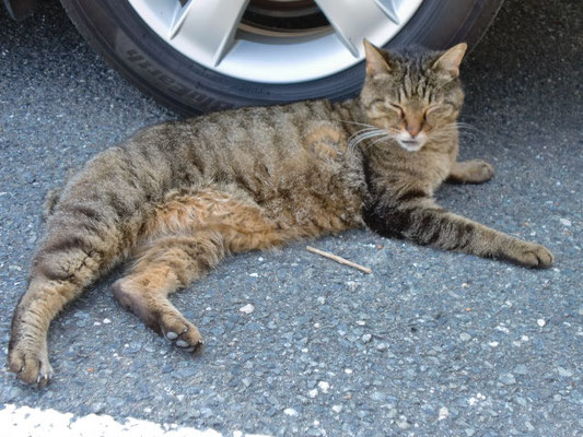 駐車場で寝ているキジ猫の写真