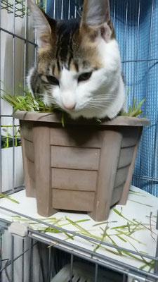 猫草福独り占め