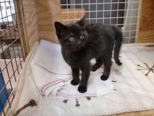 里親募集 黒 雌猫の写真