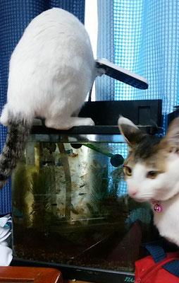 サンゴ、水槽の水を飲む