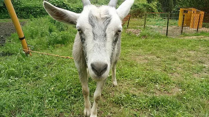 トカラヤギの写真