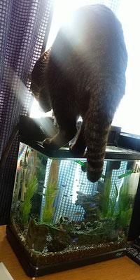 ララ、水槽の水を飲む