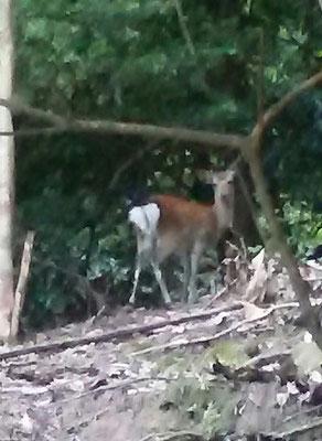 狗留孫山の鹿