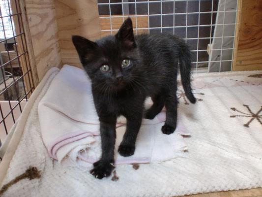 里親募集 黒猫雌の写真