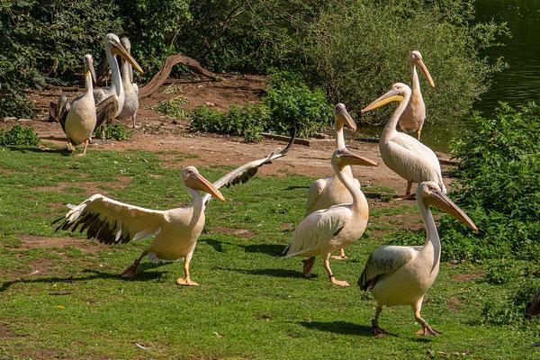 Die Pelikane warten auf die Fütterung