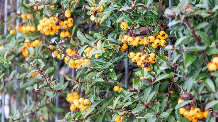 Wie Perlen hängen die orangen Früchte am Sanddornstrauch