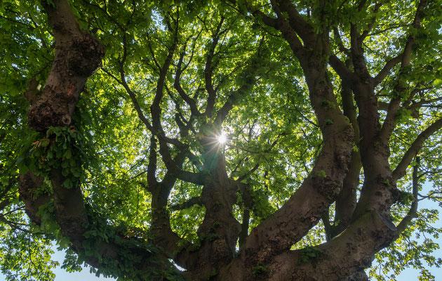 Blätterdach eines uralten Baumes im Kirchenumfeld