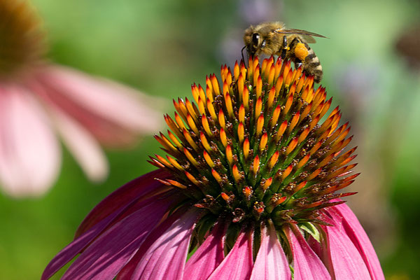 Die Honigbiene sucht nach Pollen