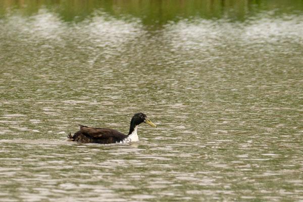 Pommernente im Teich
