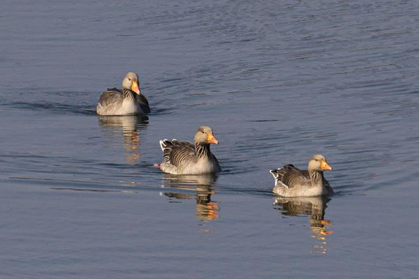 Graugänse beim Formationsschwimmen
