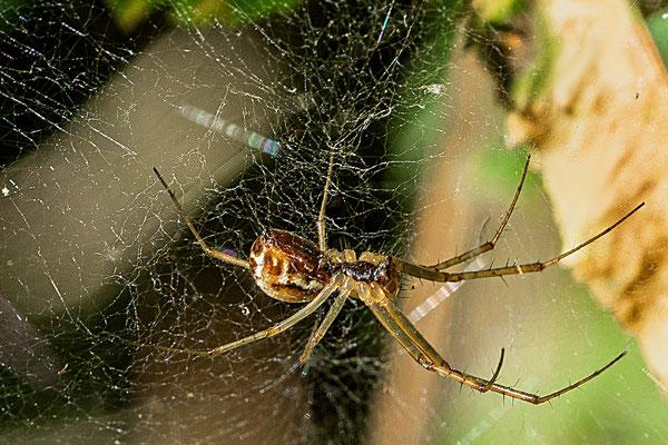 Die Spinne wartet auf die nächste Mahlzeit