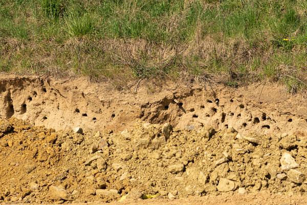 Brutröhren der Uferschwalben