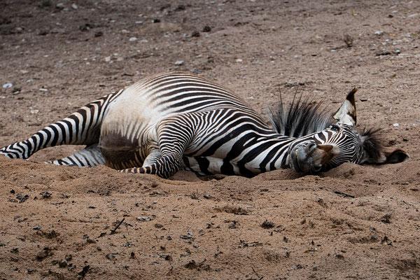 Zebra beim Sandbaden