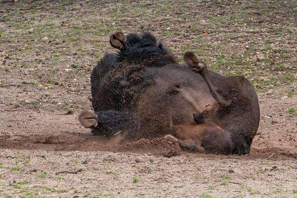 Bison beim Sandbaden