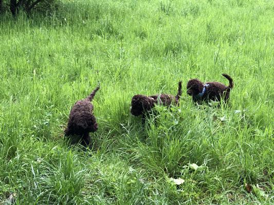 A Wurf Catwalk Lagotto Romagnolo Wasserhund Zucht Zuchter Kennel Welpen In Bayern Und Truffelseminare
